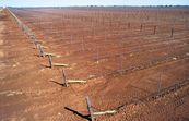 New McWilliams Wines vineyard with dripper irrigation system. Griffith, NSW.