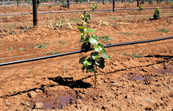Trickler (dripper) irrigation of young vines at McWilliams Wines vineyards, Hanwood (near Griffith) NSW.