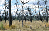 Dead woodland (due to drought conditions) with termite mound... [ID:6570]