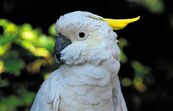 Sulphur-crested cockatoo at the Billabong Wildlife Sanctuary, Townsville. QLD.