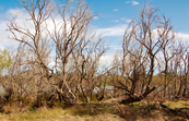 Dead willows along the banks of the River Murray