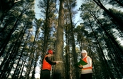 Measuring the girth of a Radiata Pine