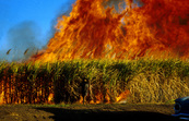 Fire in sugar cane.