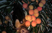 Spectacled flying fox in a Lychee tree