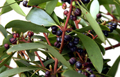 Leaves and Berries of the Mountain Pepper - Tasmannia lanceolata
