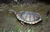 Eastern Snake-necked Turtle [ID:7775]