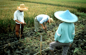 Taking a Sample of Soil From a Rice Field