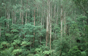 Mountain Ash and Tree Ferns, Black Spur
