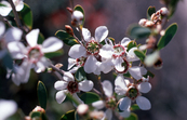 The Coastal tea-tree - Leptospermum laevigatum