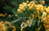 Bipinnate Leaves of Wattle [ID:2548]