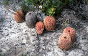 The Creeping Banksia - Banksia repens - Western Australia