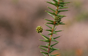 The Prickly Moses Wattle - Acacia ulicifolia