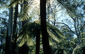 Cyathea australis, the Rough Tree Fern