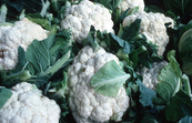 Cauliflower [ID:2814]
