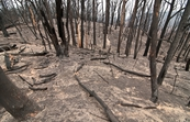 The Kinglake National Park after the 'Black Saturday' bushfi... [ID:10345]
