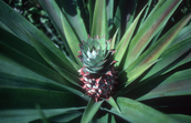 A Pineapple [ID:2094]