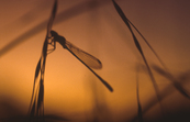 Silhouetted Dragonfly on Stem at Sunset