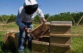 Dr Denis Anderson of CSIRO Entomology examining in a hive at a cherry farm near Young, New South Wales.