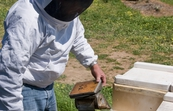 Dr Denis Anderson of CSIRO Entomology applying smoke to a beehive at a cherry farm near Young, New South Wales.