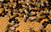 European honeybees (Apis mellifera) in a hive