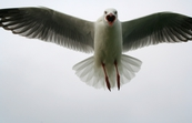 Angry Silver Gull in flight