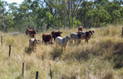 Cattle on CSIRO's Belmont Research Station in central Queensland