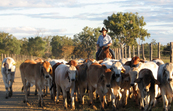 A stockman musters cattle on CSIRO's Belmont Research Station in central Queensland