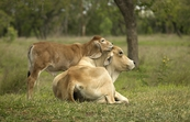 Brahman cow and calf