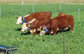 Cattle wearing 'virtual fencing' collars