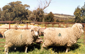 A normal sized control sheep (left) and transgenic sheep (ri... [ID:2294]