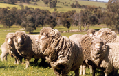 A group of transgenic sheep