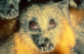 Fruit bats (flying foxes)