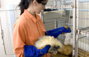 CSIRO animal technician with ferrets at AAHL [ID:7963]