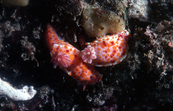 A Nudibranch, Chromodoris amoena [ID:2654]
