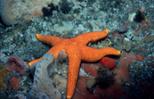 A Velvet Sea Star [ID:2736]