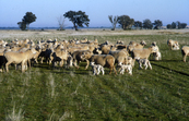Sheep and Lambs in Paddock