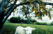 A White Lamb on the Move