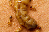 A mature queen termite [ID:2289]