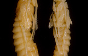 Pupae of the Sirex Wasp, Sirex noctilio. [ID:1468]