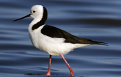 Black-winged Stilt [ID:10652]