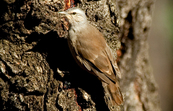 Brown Treecreeper, Chiltern, Victoria
