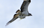 Osprey, Port Douglas, Queensland