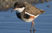 Red-kneed Dotterel, Werribee, Victoria