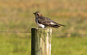 Pallid Cuckoo, Point Cook, Victoria