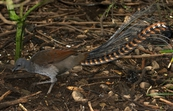 Superb Lyrebird,  Mt Buffalo, Victoria