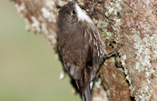 White-throated Treecreeper, Jamieson, Victoria