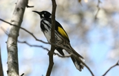 New Holland Honeyeater, Jamieson, Victoria