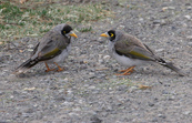 Noisy Miners,  Banyule, Victoria [ID:3476]