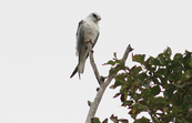 Australian Black-shouldered Kite, Coolart, Victoria [ID:3559]