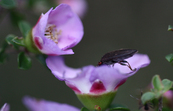 Insect feeding on a tea-tree flower, Jamieson, Victoria